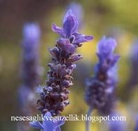 Şifalı Bitki Lavanta
