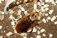 Evde Hamam Böceği Beslenir Mi?