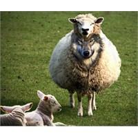 Yalancı Çoban Masalında Teknik Hata