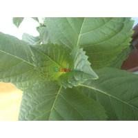 Yeşil Çay İle Zayıflama