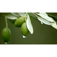 Mucize Bitki Zeytin Yaprağı