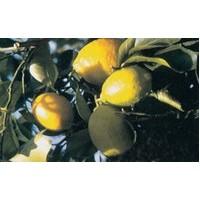 Çürüyen Meyve Neden Kahverengi Olur ?