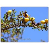 Argan Ağacı, Argan Yağı Ve Faydaları