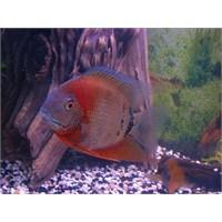 Midas Cichlid Balığı