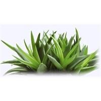 Aloe Vera Özellikleri Ve Kullanımı