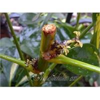 Yaprak Biti İle Mücadelem