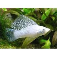 Velifera Balığı Hakkında