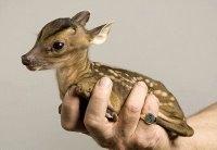 Dünyanın En Minik Geyik Yavrusu