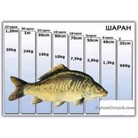Sazan Balığı Gelişim Tablosu