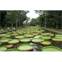 Dev Nilüferleriyle Mauritius'ta Pamplemousse Bahçe