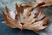 Kireçlenme İçin Çınar Yaprağı