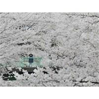 Japonya Ve Kiraz Çiçekleri