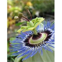 Çarkıfelek çiçeğinin faydaları ve zararları