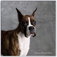 Resimli Anlatımla Köpek Irkları - Köpek Cinsleri