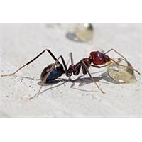Yağmurda Karıncalara Niçin Bir Şey Olmuyor?