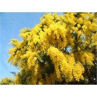 Sarı Sarı Mimozalar Açmışlar Yollarda