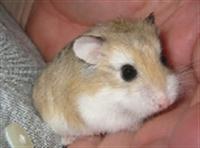 Dünyanın En Küçük Hamster Cinsi