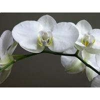 Orkide Çiçeğinin Anlamı,bakımı Ve Özellikleri