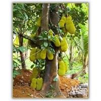 Jak Meyvesi - (Artocarpus Heterophyllus)