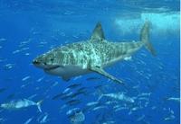 Köpek Balığı Karaciğer Yağı