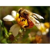 Arı Sokmalarına Karşı Ne Yapılabilir?