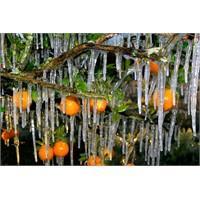 Buz Tutan Portakal Ağacı