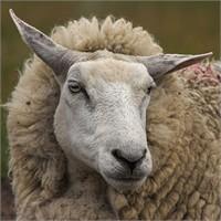 Koyunlara Haksızlık Etmek Üzerine….