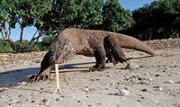 Komodo Ejderi