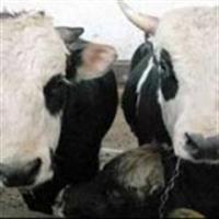 Klonlanmış Et Ve Süte Onay