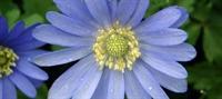 Tabii Mucize: Mavi Anemon Çiçeği