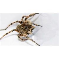 Örümcek Biyolojisi 1. Bölüm: Giriş