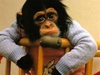 Şempanzeler Gelecegi Düşünüyor !