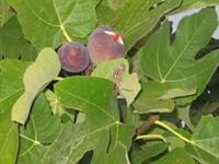 *tümörü Küçülten Meyve