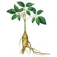 Ginseng.. Cinsel Gücü Arttırıcı Bitki