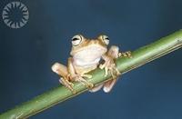 Zehirli Küçük Kurbağa
