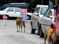 Sokak Köpeklerinde Ölümcül Hastalık