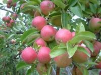 Elma  Nın Yeni Keşfedilen Faydaları