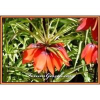 Ters Lale (Ağlayan Gelin) | (Fritillaria İmperiali