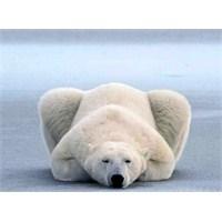 Kutup Ayılarının Görünmezlik Özelliği