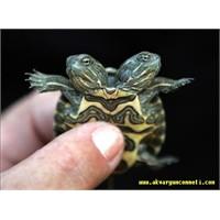Su Kaplumbağası Resimleri