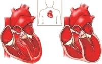 Kalp, Oluşumu Ve Dolaşım Sistemi