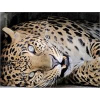 Leopar Da Olsa O Bir Kedi [Video]