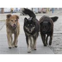 Kasabanin Köpekleri