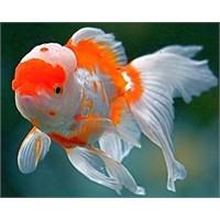 En Çok Tercih Edilen Akvaryum Balıkları