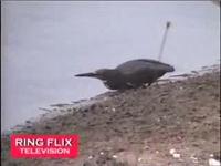 İnsan Gibi Balık Avlayan Ku