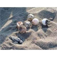 Caretta Caretta Aşkına : Doğum Ve Denize Yolculuk