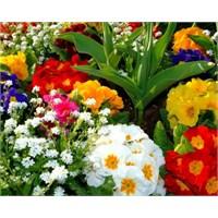 Çuha Çiçeğinin Faydaları Nelerdir ?