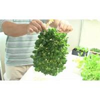Topraksız Bitki Yetişiriyor