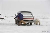 Alaskada Bir Beyaz Ayı Doğa Fotoğrafçısını Kovalad