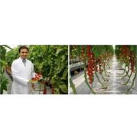 Tarım İş Fikri Suda Domates Üretimi